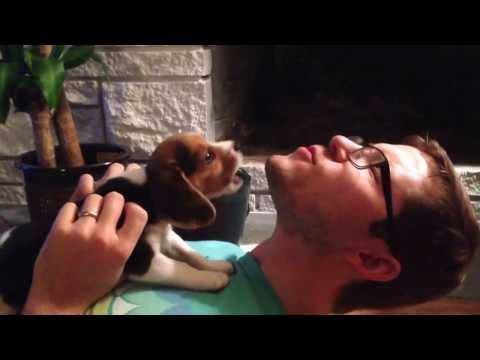 Beagle Puppy Learning To Howl Youtube Beagle Puppy Beagle