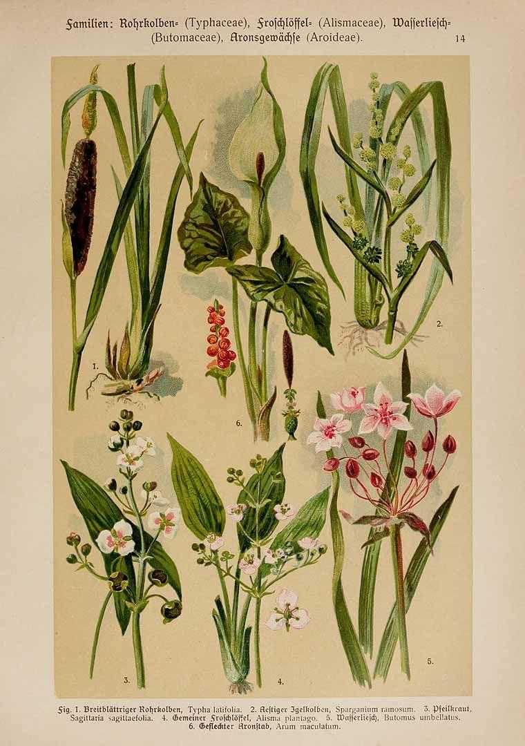 208097 Alisma plantago-aquatica L. [as Alisma plantago R. Br.]  / Hoffmann, K., Dennert, E., Botanischer Bilderatlas nach dem natürlichem Pflanzensystem, t. 14, fig. 4 (1911)