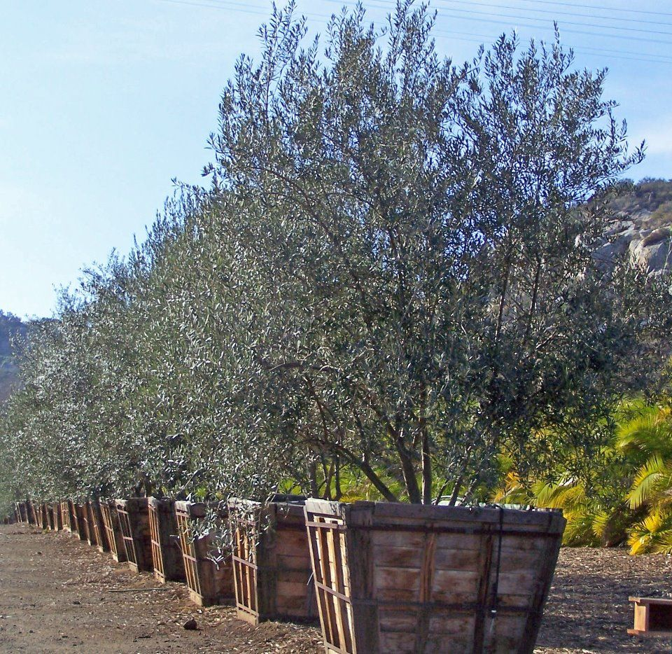 Olea Europaea Fruitless Fruitless Olive H 15 25 Feet W 15 20 Feet Evergreen Flower Color Is Insignifica Trees To Plant Tall Shrubs Colorful Flowers