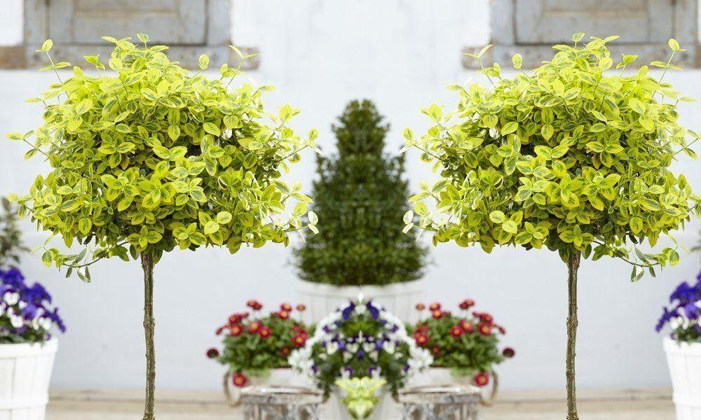 Pair of Euonymus Emerald & Gold Golden Evergreen