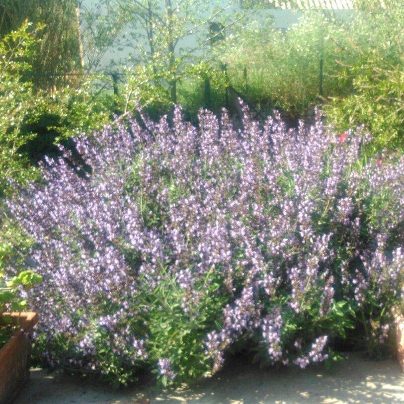 La salvia in fioritura nel giardino dell'ecoturismo Case Colomba vicino Trapani.