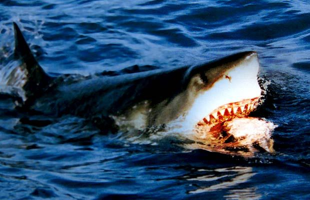 Do Sharks Need Protection From Us?   Shark pictures, Great ...
