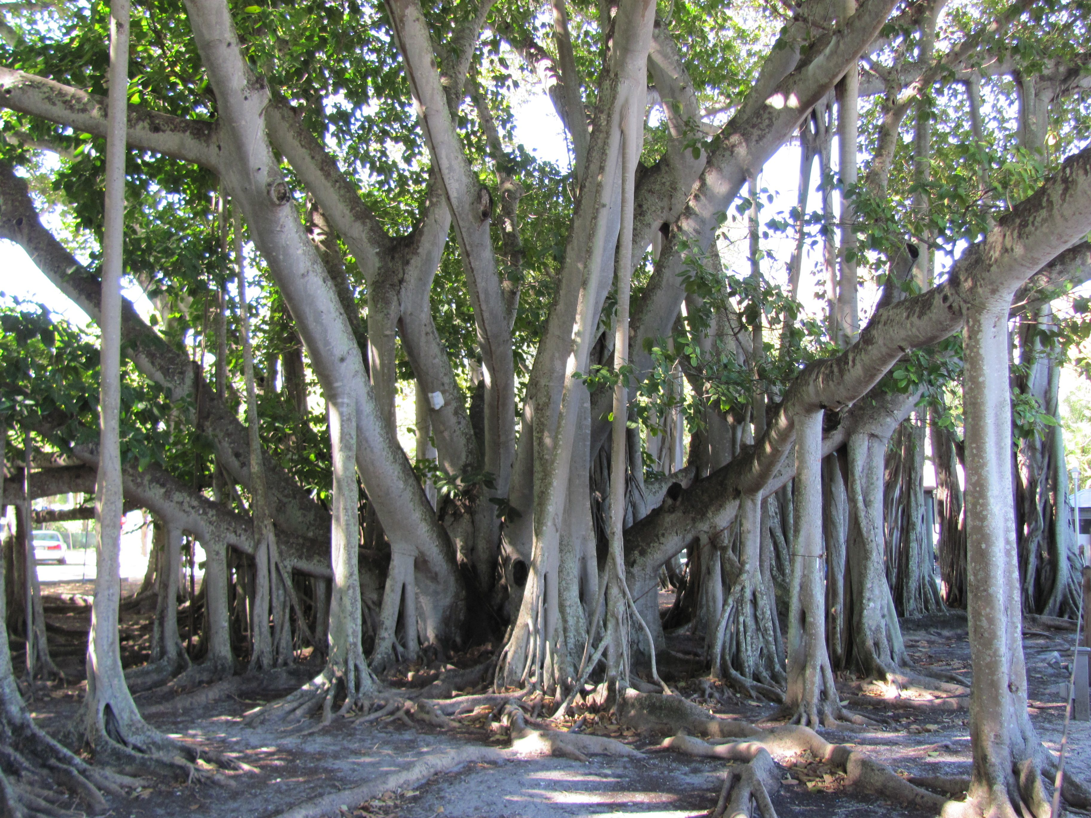 Banyan trees i love them this image is supposedly from the tree banyan trees i love them this image is supposedly from the tree in thomas fandeluxe Choice Image