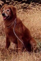 Windbreakers Mighty Moe Golden Retriever Breeder Search And