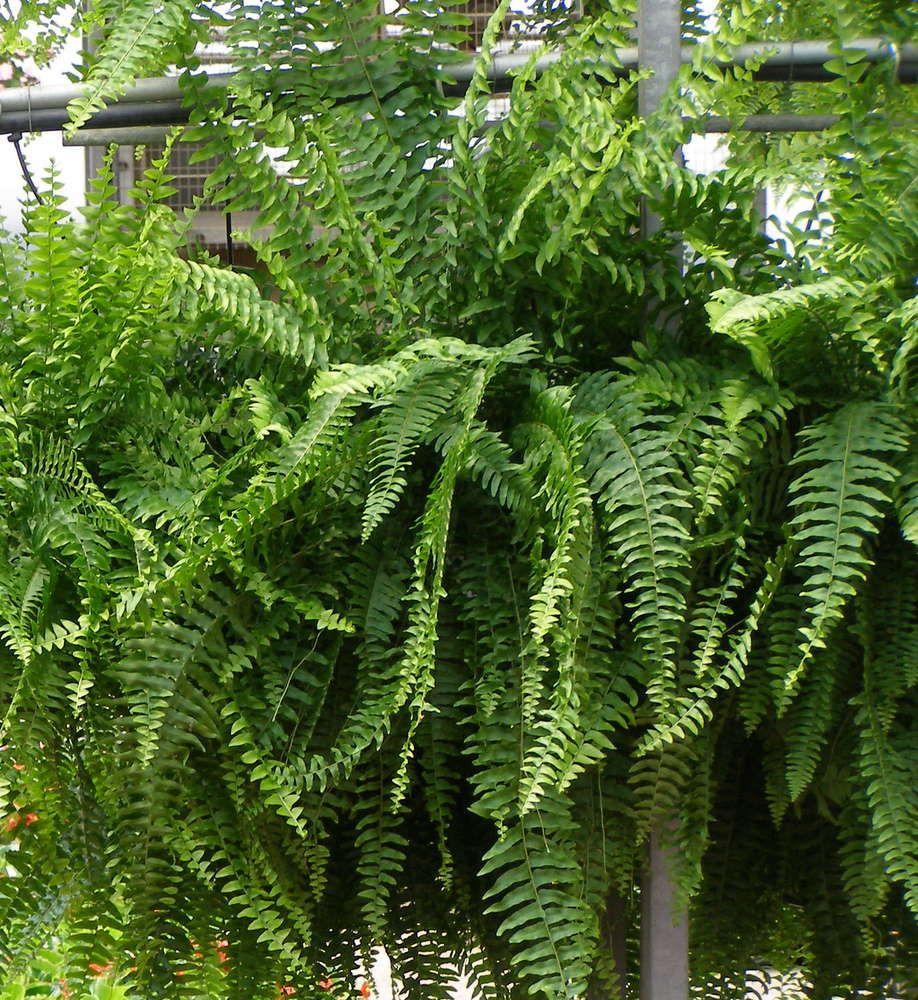 Boston fern with images boston ferns plants foliage