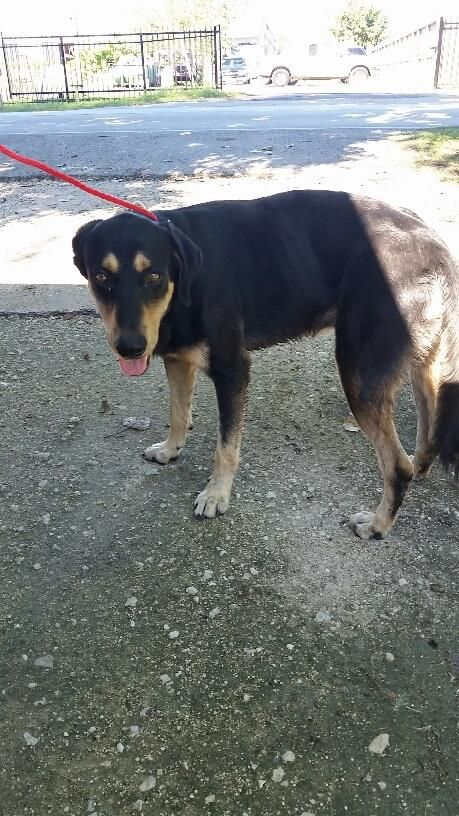 This Dog Id A468228 Urgent Harris County Animal Shelter In Houston Texas Adopt Or Foster 2 Year Old Male Black And Tan Animal Shelter Animals Dog Id