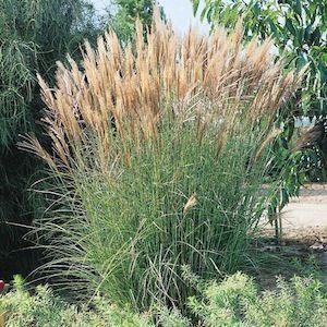 Ornamental Grasses Zone 7 Best ornamental grasses zone 7 google search grasses in the best ornamental grasses zone 7 google search workwithnaturefo