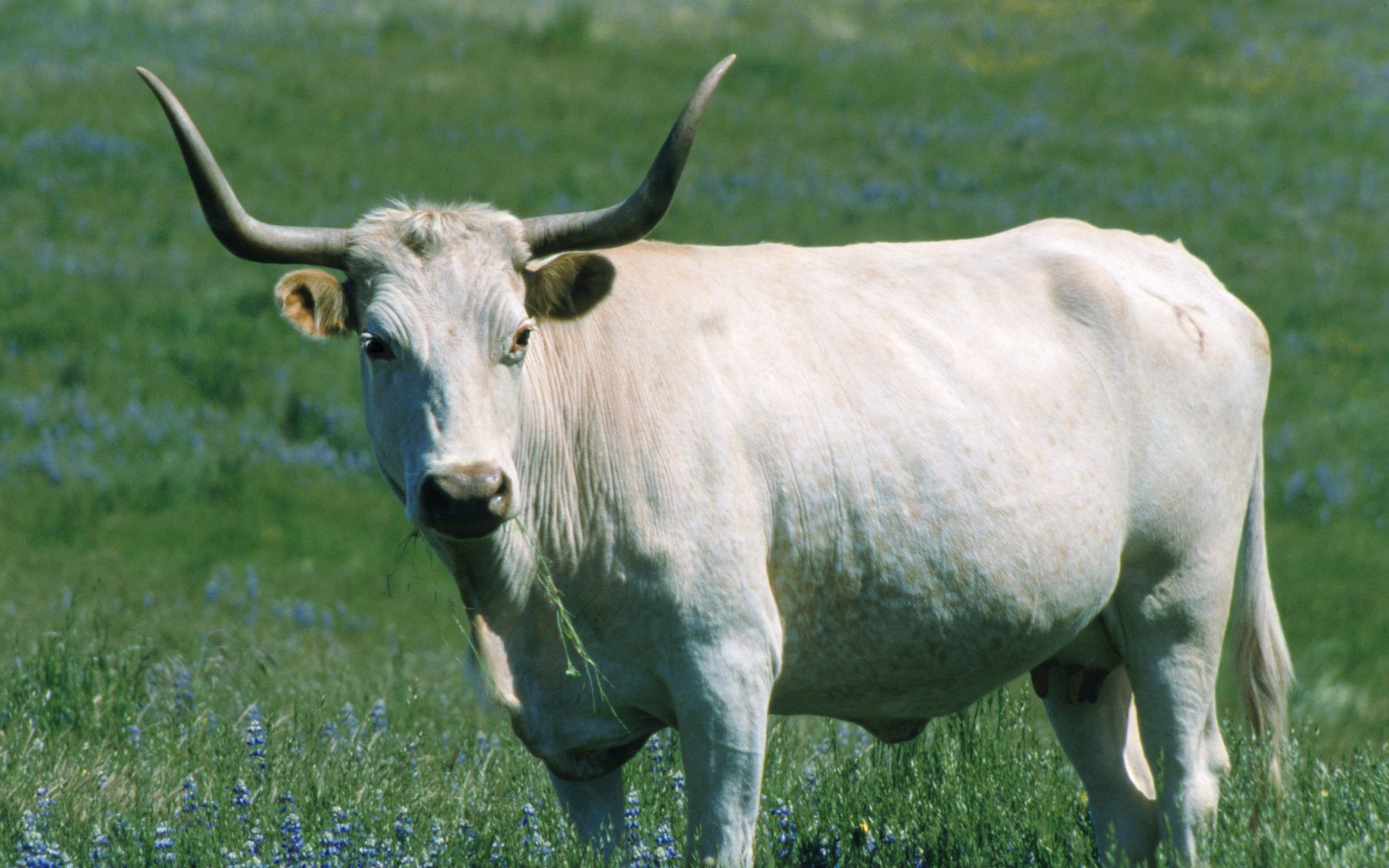 Cows Wallpapers Downloadeer Simply The Best Cow Pictures Cow Cow Wallpaper