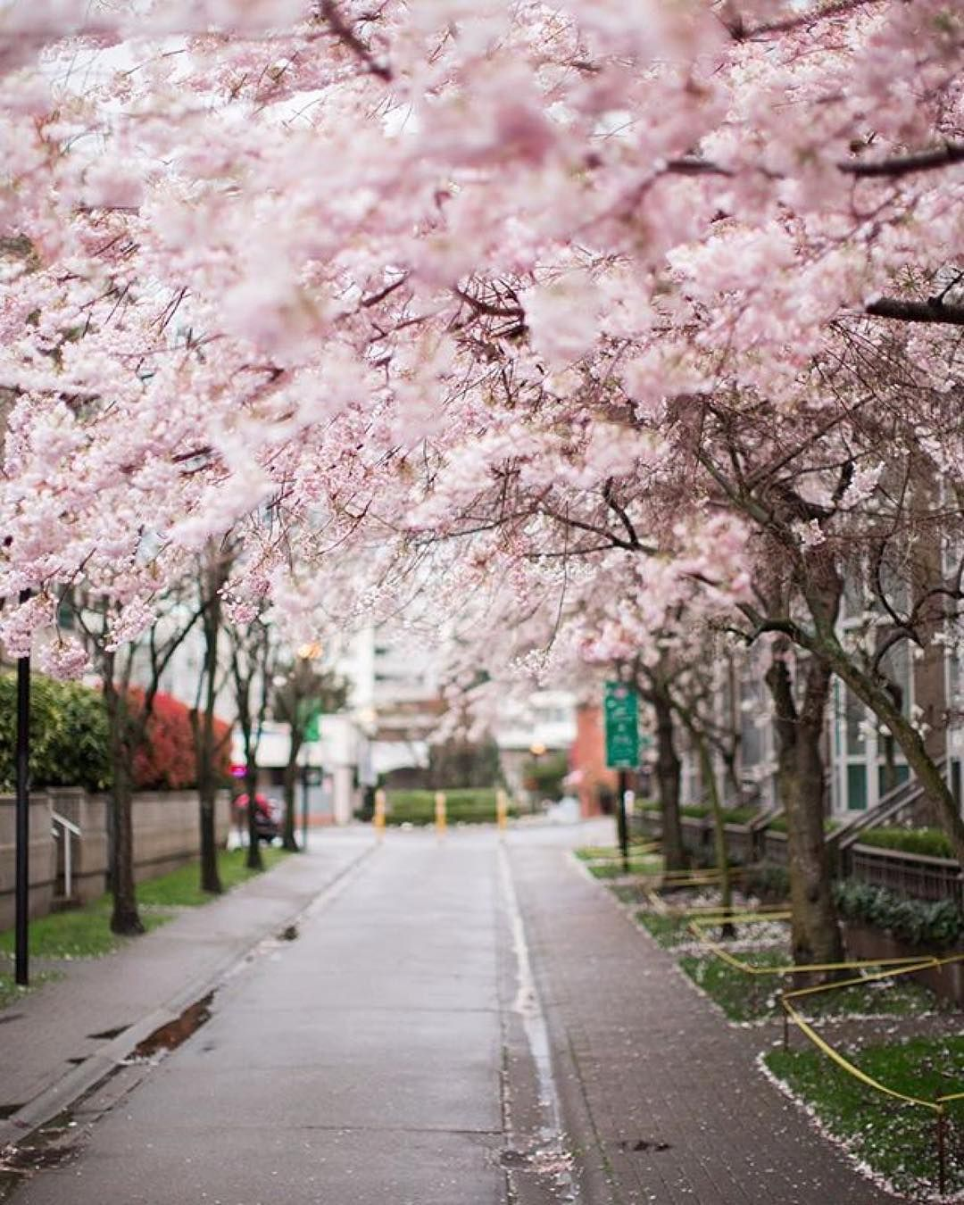 Cherry Blossoms In Vancouver Bc Vancouver Photography Cherry Blossom Festival Travel Living