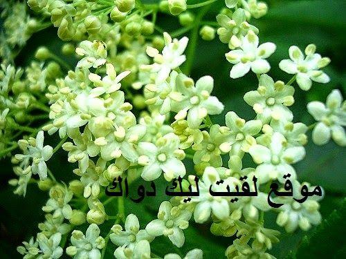 الأعشاب الطبية المغربية بيلســــــــان Miniature Fairy Gardens White Flowers Fairy Garden