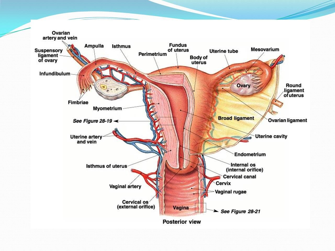 Lab Reproductive System Female Reproductive System Anatomy Reproductive System Female Reproductive System