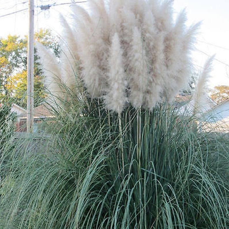 Different Colors Of Pampas Grass Cortaderia Selloana 100 500 1000 5000 Or 10 000 Seeds In 2020 Cortaderia Selloana Pampas Grass Seed Pampas Grass