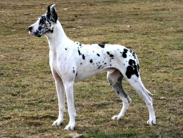 Blue Harlequin Great Danes For Sale In Ohio Rainmaster Danes