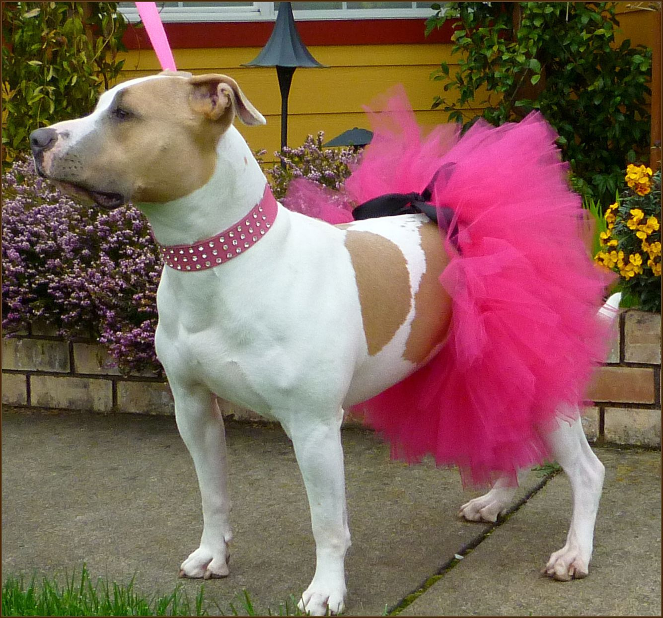 Stuff Your Dogs Should Wear If Dog Tutu