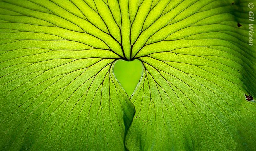 Kidney fern (Trichomanes reniforme), Kiriwhakapapa, New Zealand