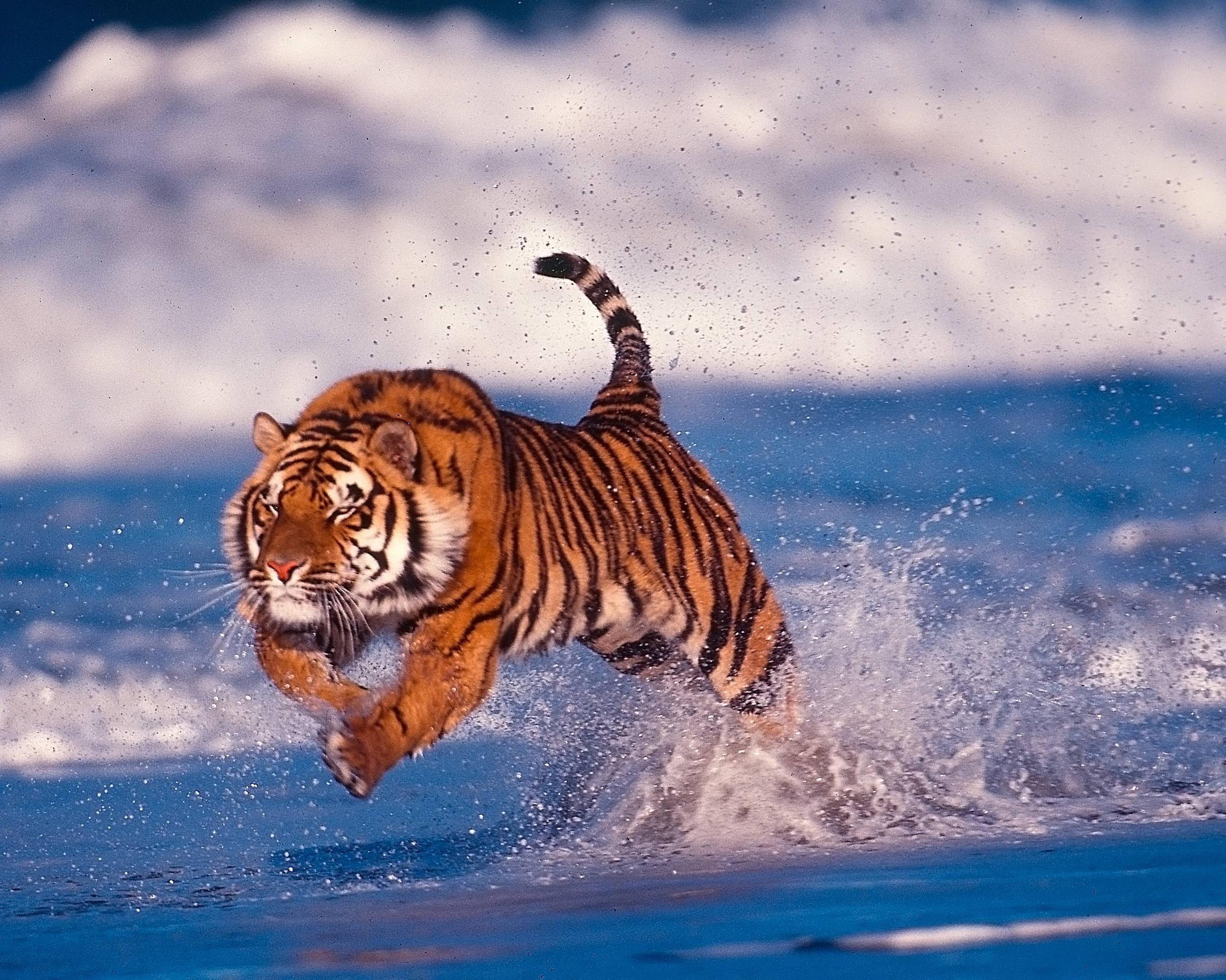 wonderful tiger wallpaper [1920x1080] via classy bro | cool