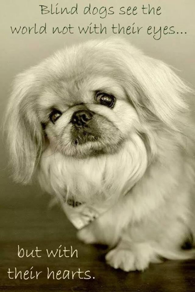 It is not uncommon for Pekingese to develop eye problems. But they are very intelligent dogs and learn to adapt!