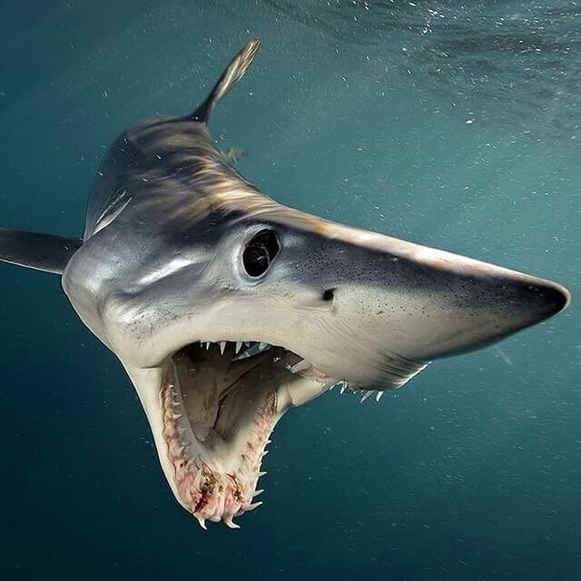 photo by brianskerry a shortfin mako shark in swims  photo by brianskerry a shortfin mako shark in swims open mouthed at