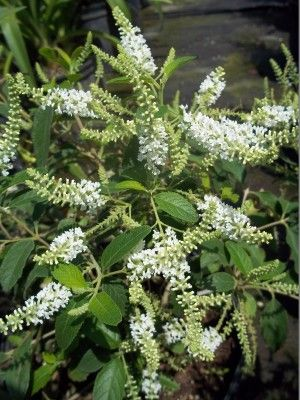 Sweet almond bush drought tolerant garden and rock garden design backyard sweet almond bush florida nursery mart sweet almond can be a bush or tree its flowers have a lovely fragrance and attract butterflies with their mightylinksfo