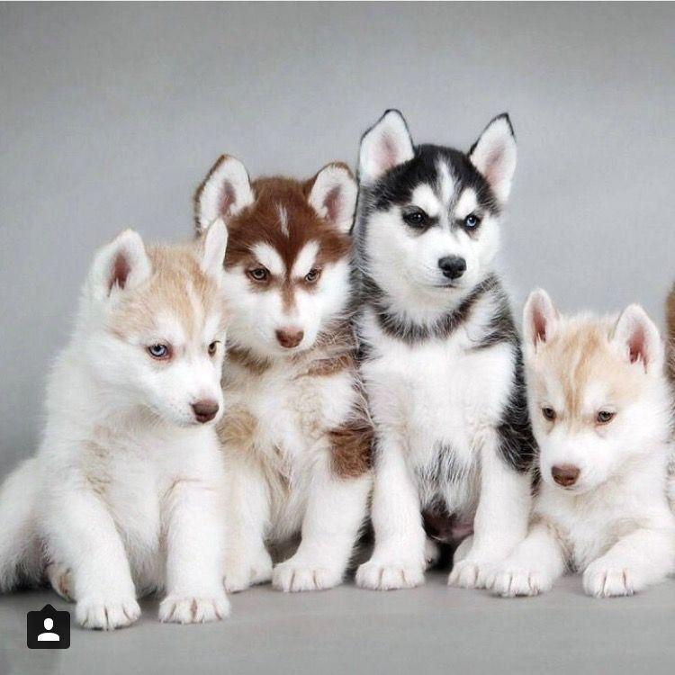 Siberian Husky Puppy Siberianhusky Siberianhuskypuppy Cute