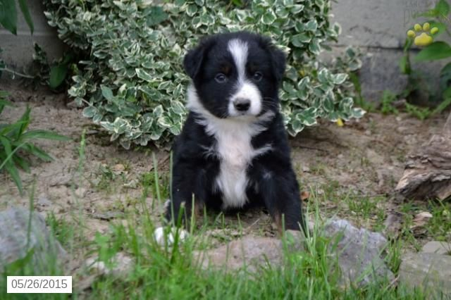 Australian Shepherd Puppy For Sale In Ohio Buckeyepuppies