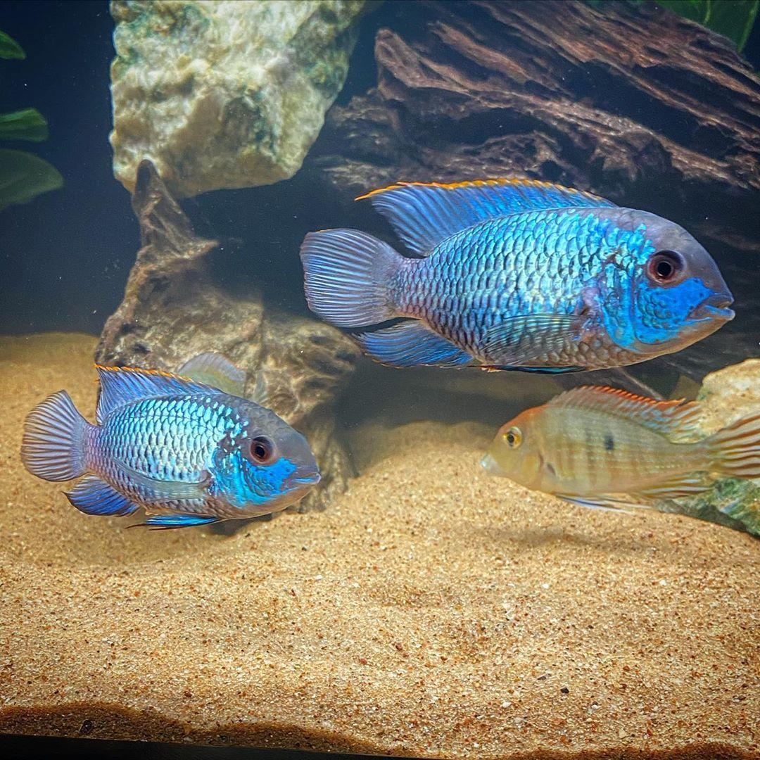 Cichlid Bros S Instagram Photo My Two Electric Blue Acaras Paired Up On The First Night They Were In The Same Tank Together In 2020 Electric Blue First Night Photo