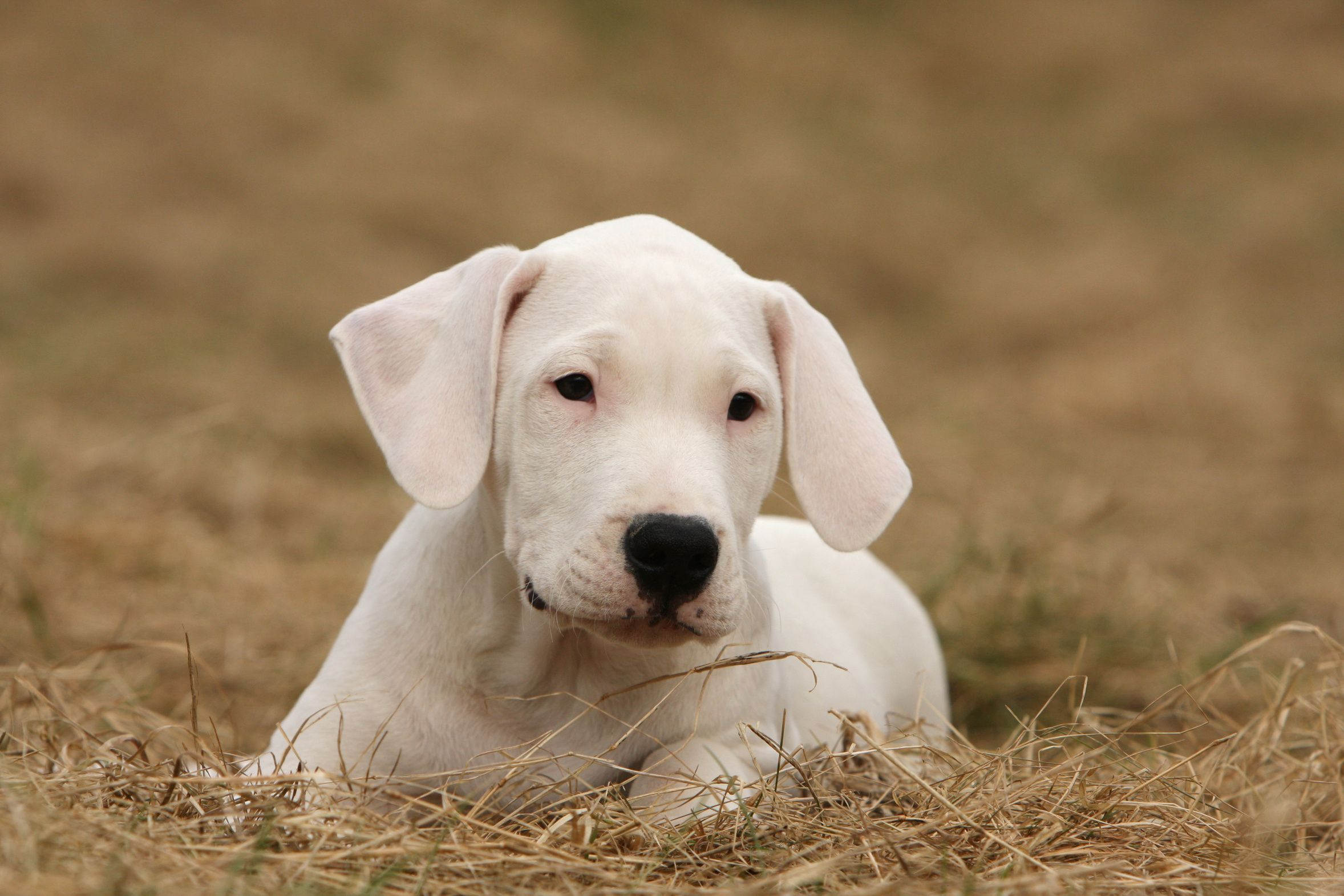 Dogo Argentino Puppy On Dried Grass Dogs Dog Breeds Dog Training