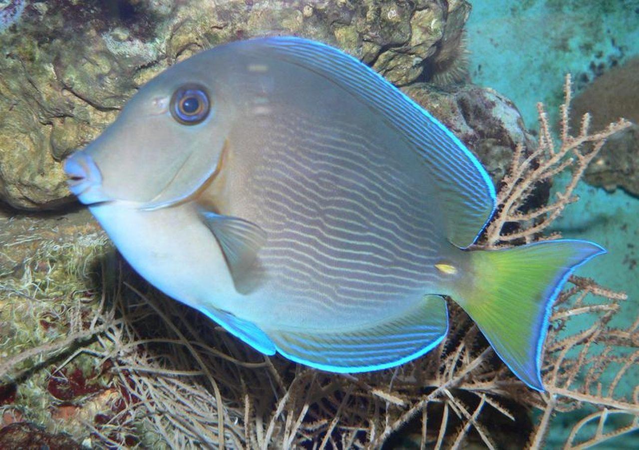 Atlantic Blue Tang Large 5 7 Inches Caribbean Tang Salt Water Fish Store Store In 2020 Marine Aquarium Fish Marine Aquarium Salt Water Fishing