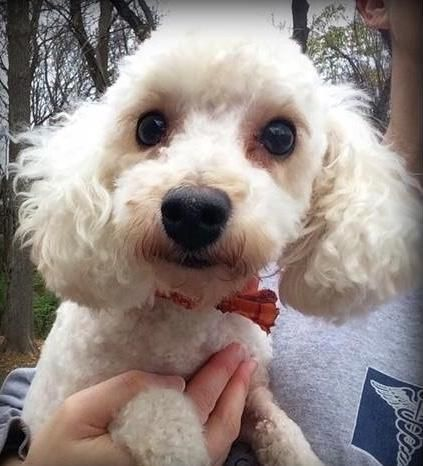 Adopt Jacob On All Adoptables Bichon Frise Dogs Animals