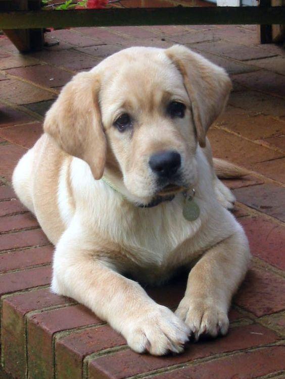 Oh My Yellow Labrador Retriever Puppy Labrador Retriever Lab