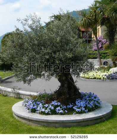 Olive tree landscape design google search for the home for Tree landscape design