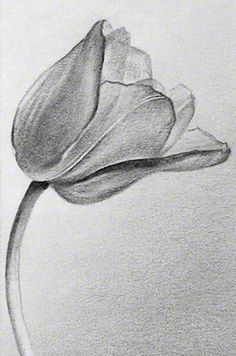 Flowers For Pencil Drawings Of Tulips Tulip Drawing Pencil Drawings Of Flowers Flower Sketch Pencil