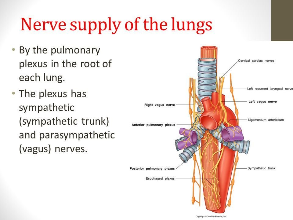 Lung Nerve Diagram - Collection Of Wiring Diagram •