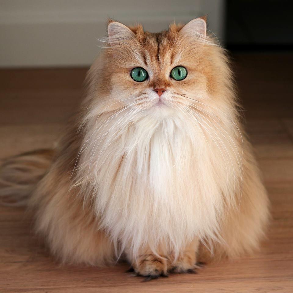 Golden British Longhair Cat Cute Cats Funny Cat Memes Cool Cats