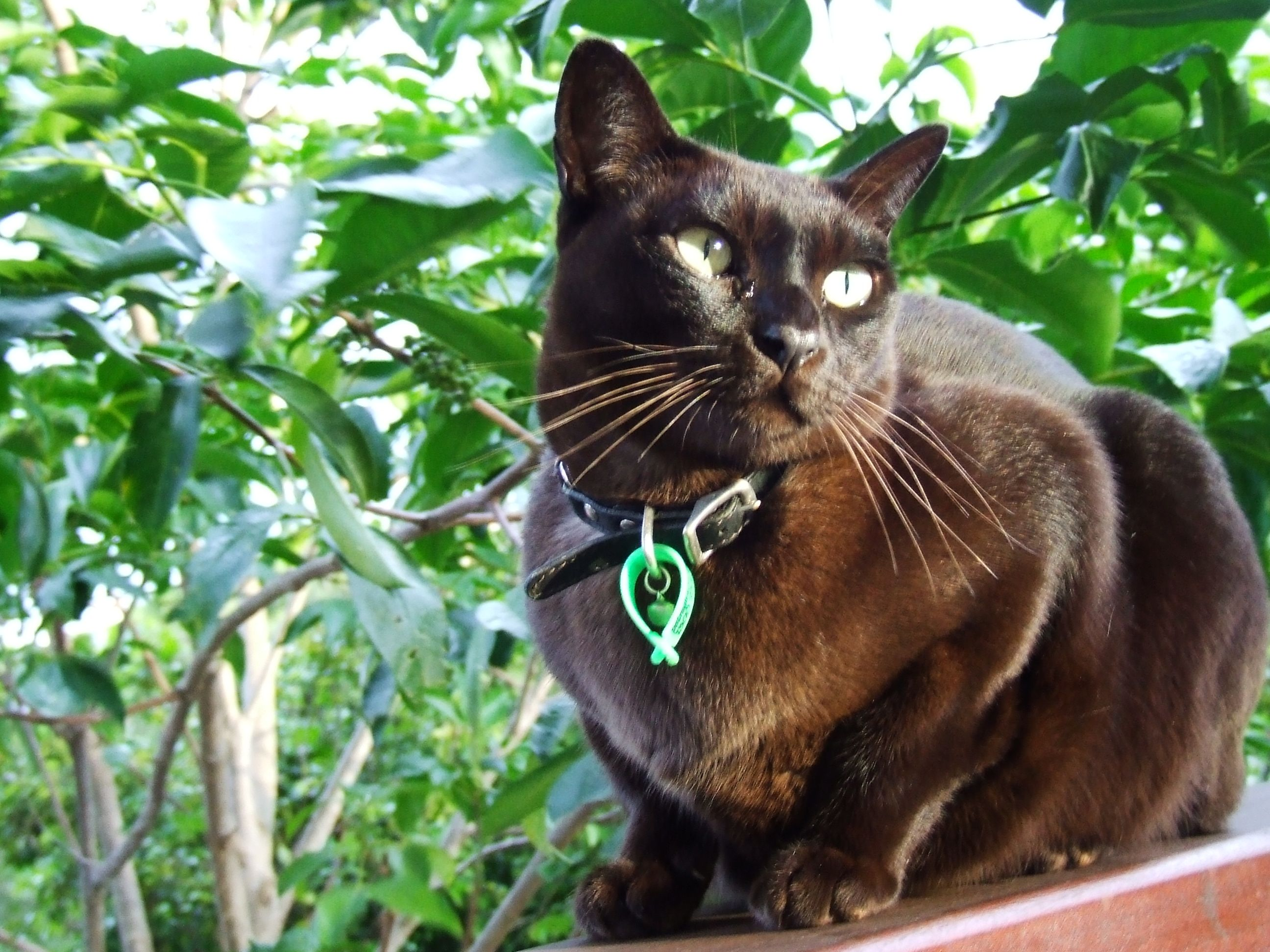 Southlynn In A Plant Burmese Cat Cat Adoption Burmese Kittens