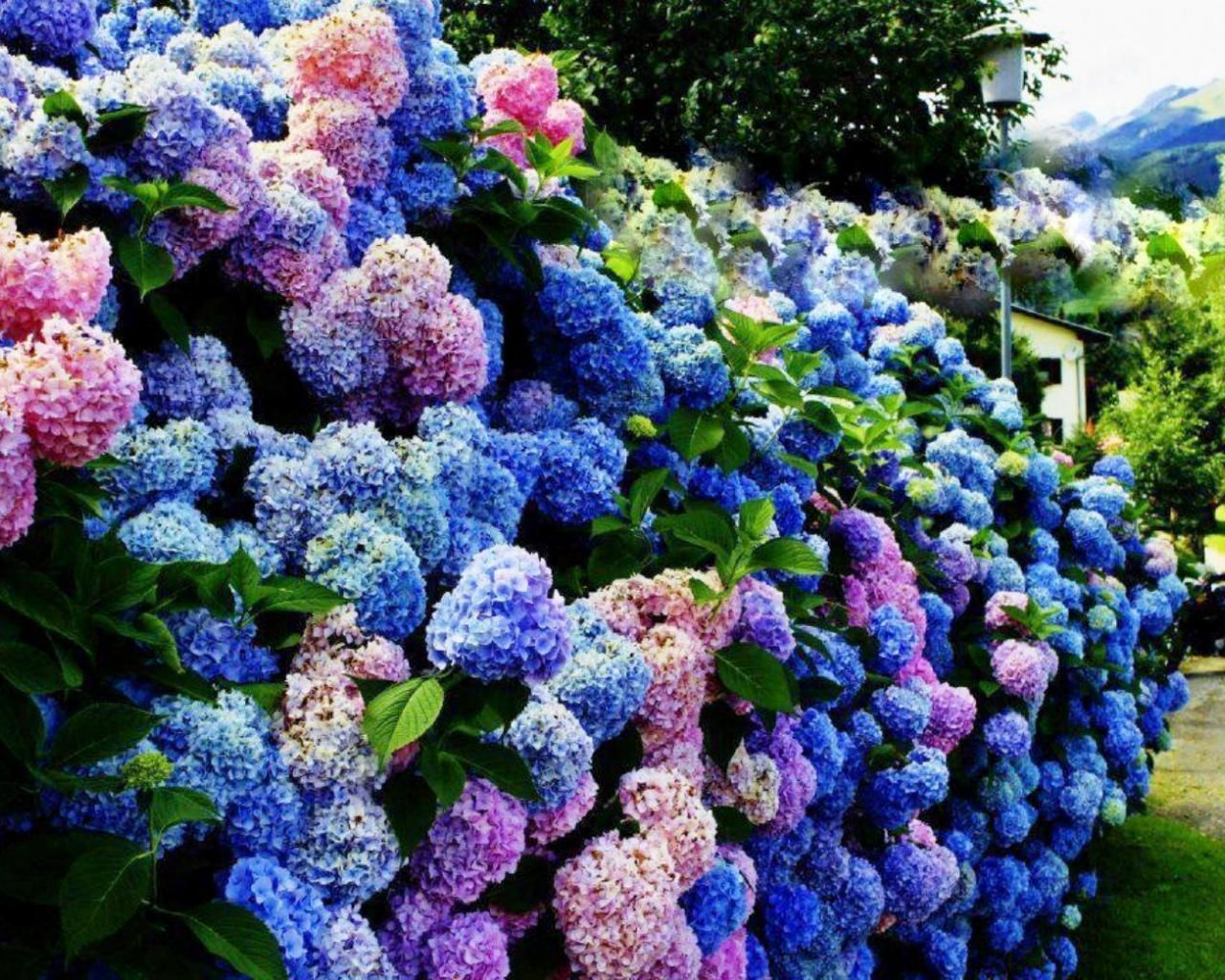Multi Color Hydrangea Bushes Google Search Blue