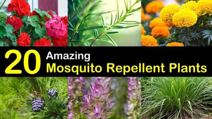 Keeping Mosquitoes Away - 20 Mosquito Repellent Plants #mosquitoplants