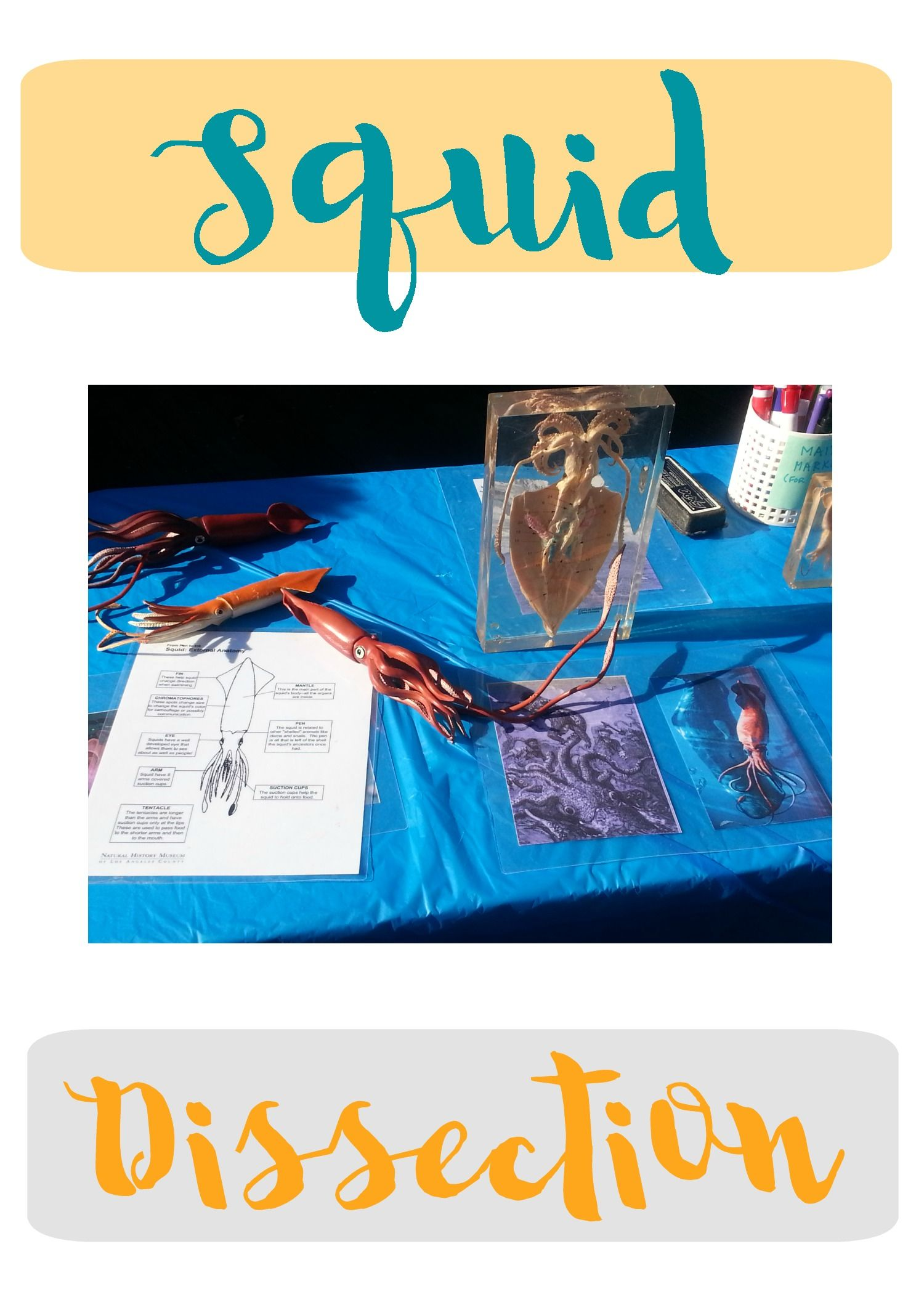 Squid Dissection Activity With Images