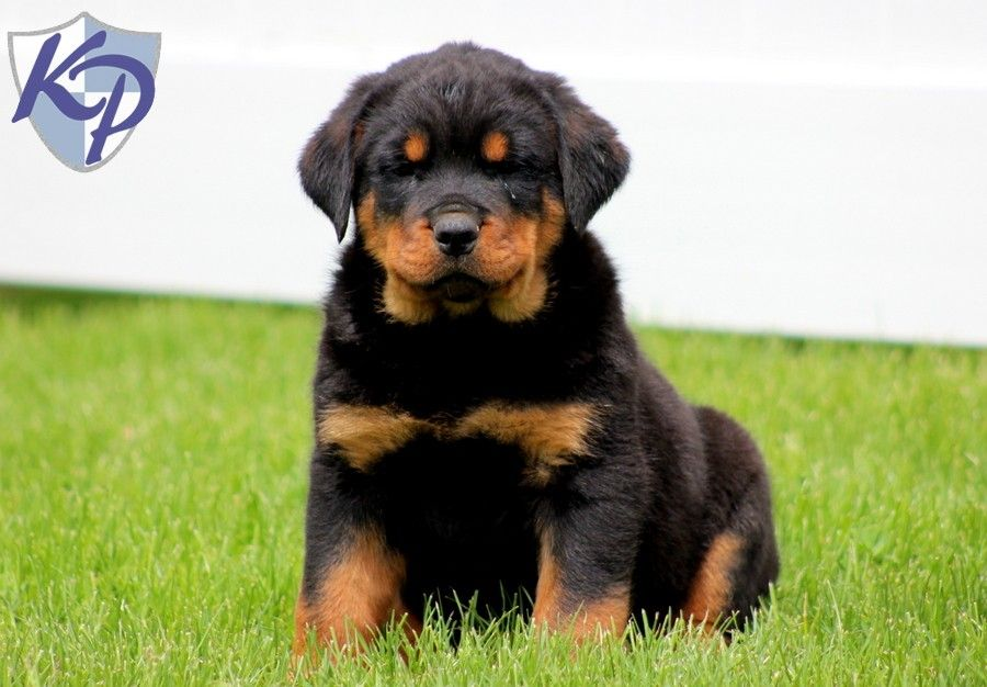 Puppy Finder Find Buy A Dog Today By Using Our Petfinder Puppies Rottweiler Puppies Buy A Dog