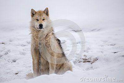 cold husky sitting - Google Search