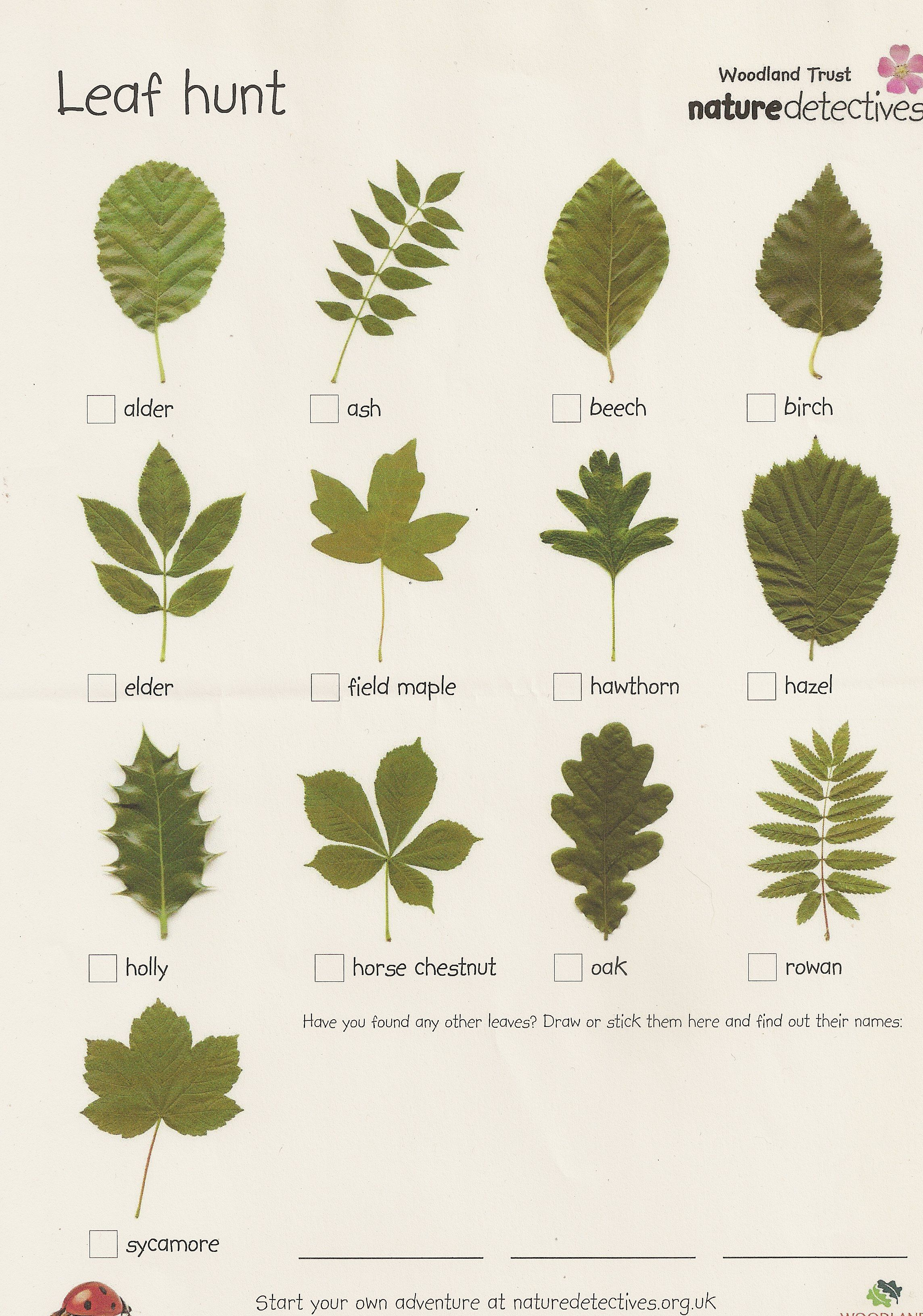 This Leaf Scavenger Hunt Can Engage Kids In Preschool Kindergarten 1st And 2nd Grade In Forest School Activities Tree Leaf Identification Leaf Identification