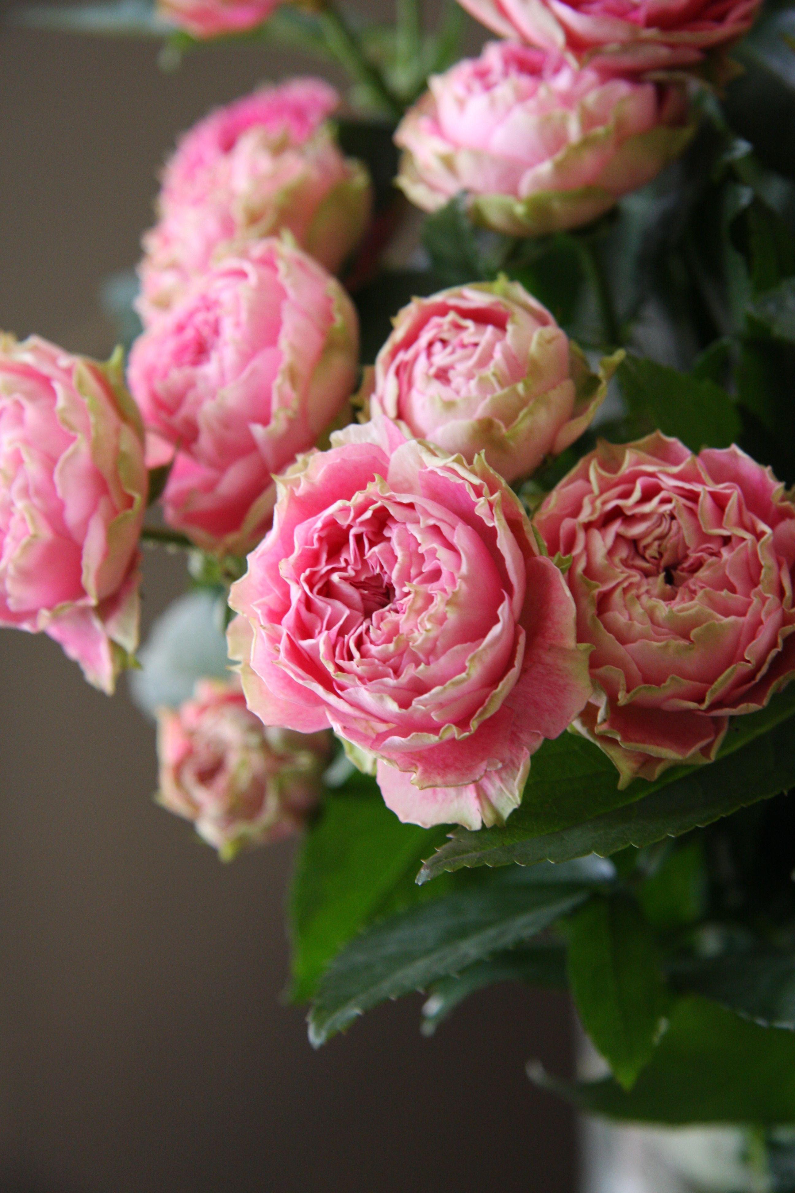 Beautiful Hyde Hall Rose