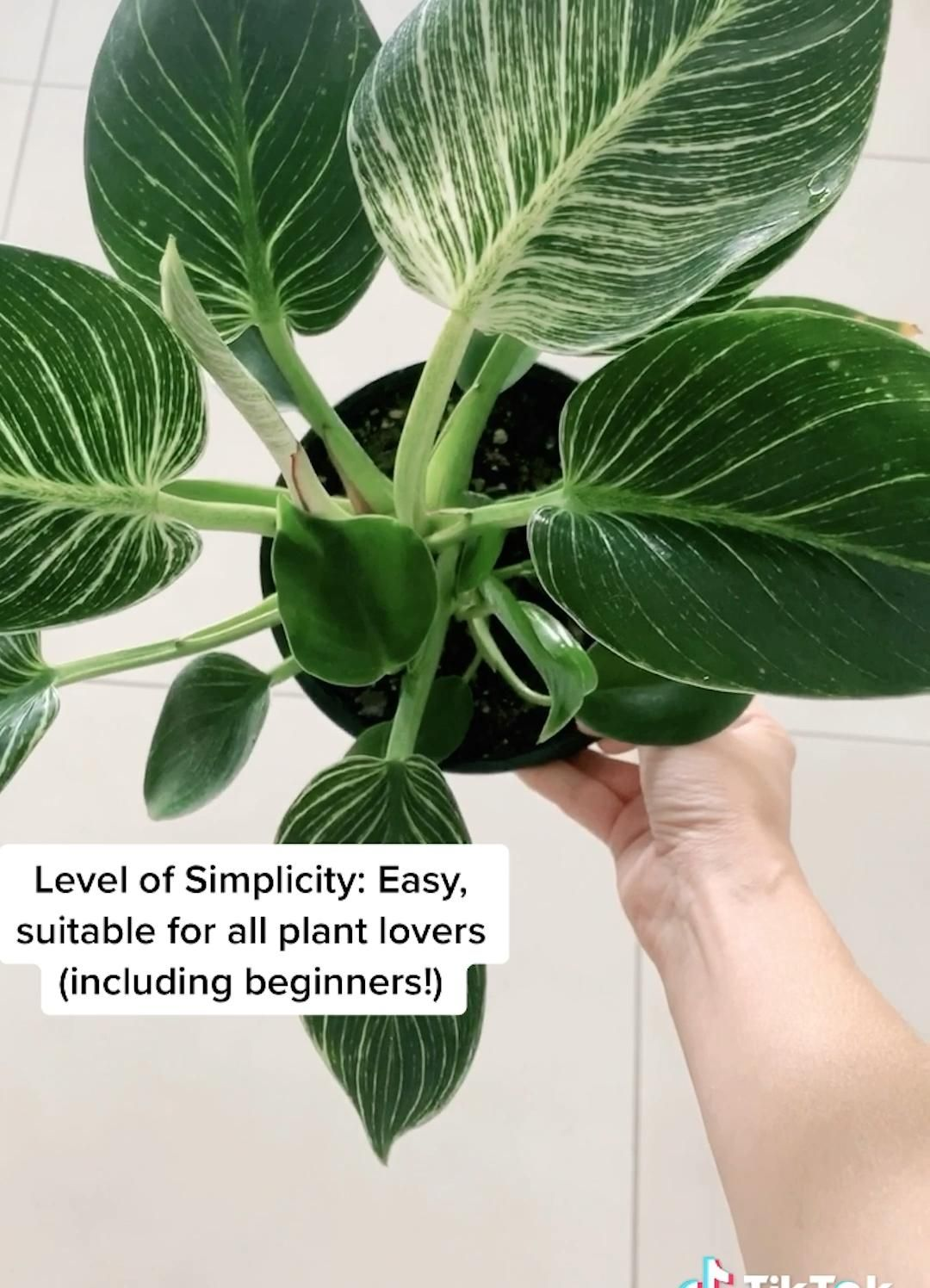 Houseplant Guide: Philodendron 'Birkin'
