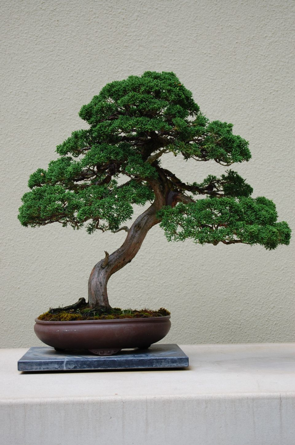 Best In The Northwest At The Pacific Rim Bonsai Collection Bonsai Tree Plants Bonsai Art