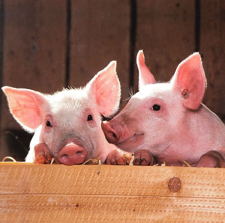 Would creating chimeras actually dehumanize the present human population?(Image: Pigs pen livestock by skeeze. Public domain via Pixabay).