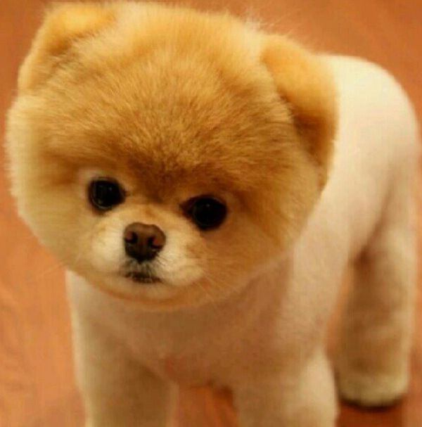 Teddy Bear Pomeranian, I want one sooooo bad!! Cute baby