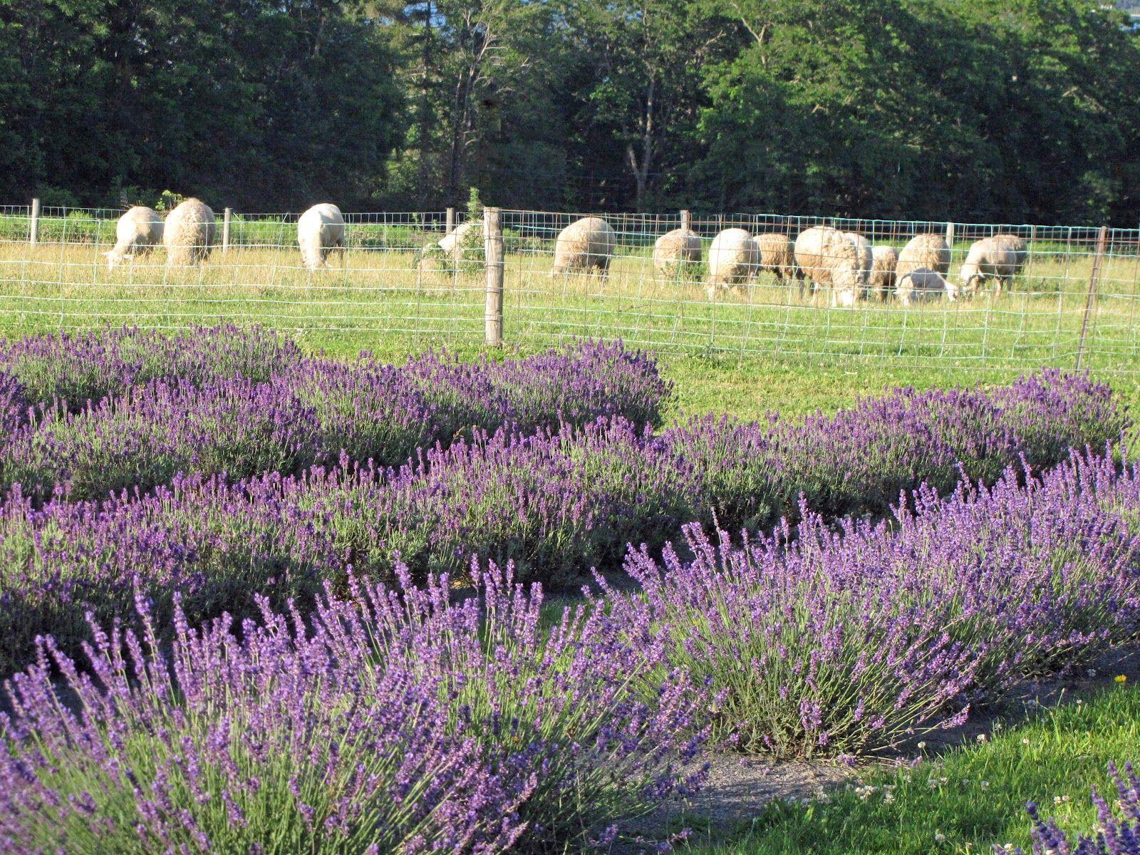 Lockwood Lavender Farm Lockwood Lavender Farm Photos