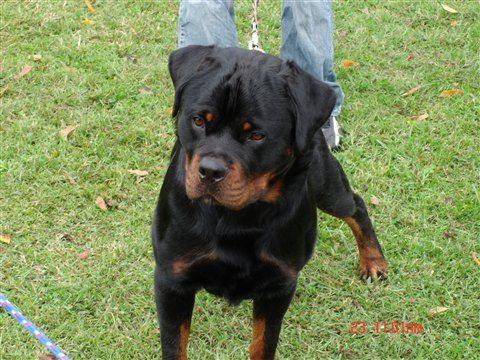 I Have A Rottweiler Named Gracie Bear Skalko Her Middle Name Is