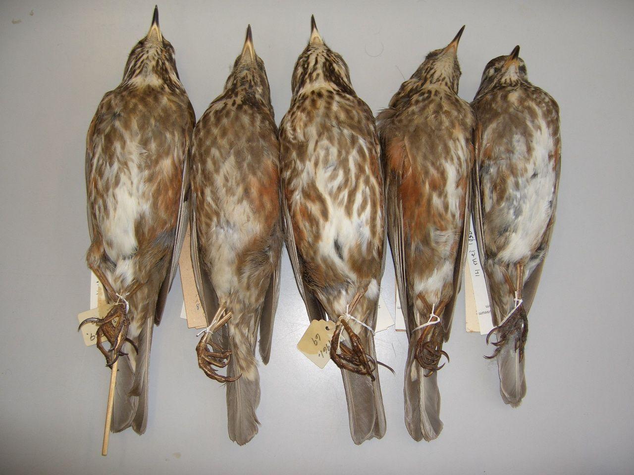 Recente bijzondere vangsten | Vogeltrekstation.nl