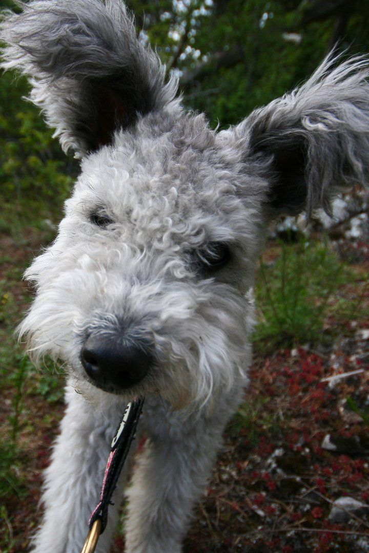 AKC Adds Pumi to Lengthy Roster of Breeds Pumi dog, Dogs